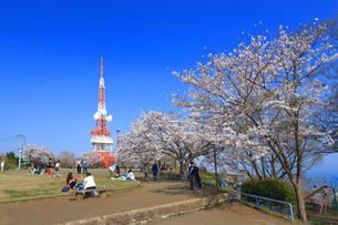 神奈川県 湘南平の桜の写真素材 [FYI03115669]