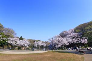 神奈川県 三ツ池公園の桜の写真素材 [FYI03115681]