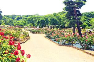 生田緑地 ばら苑の写真素材 [FYI03115691]