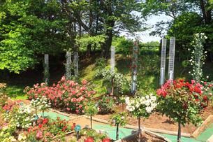 生田緑地 ばら苑の写真素材 [FYI03115719]