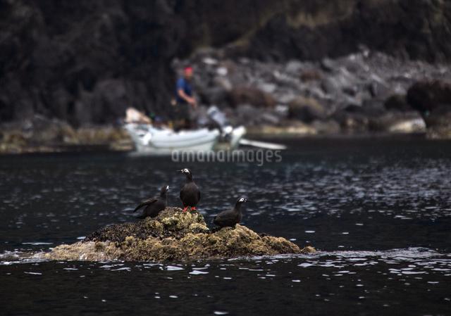 天売島のウニ漁とケイマフリの写真素材 [FYI03115965]