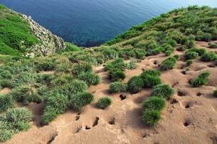 天売島のウトウの巣穴の写真素材 [FYI03115994]