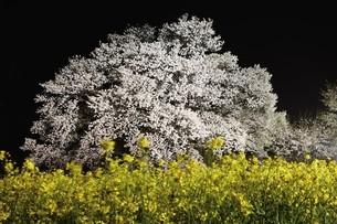 夜の一心行の大桜の写真素材 [FYI03116134]