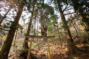 岩倉の乳房杉の写真素材 [FYI03116183]