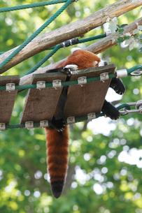 旭山動物園のレッサーパンダの写真素材 [FYI03116248]