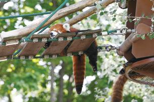 旭山動物園のレッサーパンダの写真素材 [FYI03116249]