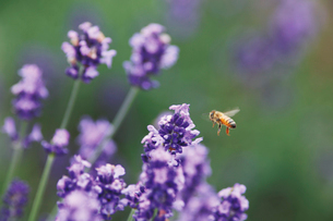 彩香の里のラベンダー畑で蜜の採集にきたミツバチの写真素材 [FYI03116250]