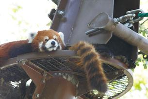 旭山動物園のレッサーパンダの写真素材 [FYI03116255]