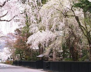 桜咲く角館武家屋敷の写真素材 [FYI03116298]