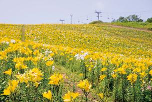 オーンズ春香山ゆり園の写真素材 [FYI03116321]