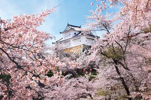 鶴山公園で催される津山さくらまつりの写真素材 [FYI03116330]