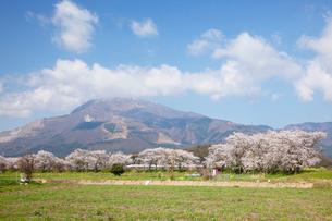 桜と菜の花咲く春の伊吹山と新幹線の写真素材 [FYI03116387]
