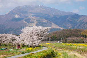 桜と菜の花咲く春の伊吹山の写真素材 [FYI03116389]