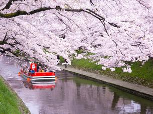 桜咲く松川公園を遊覧船で観光の写真素材 [FYI03116397]