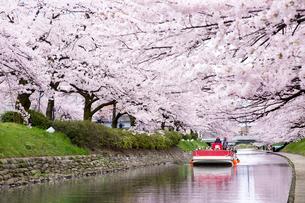 桜咲く松川公園を遊覧船で観光の写真素材 [FYI03116410]