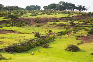 野崎島のサバンナ 野生するキュウシュウジカの写真素材 [FYI03116624]