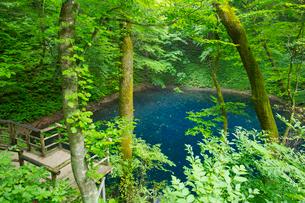 白神山地に点在する十二湖の青池の写真素材 [FYI03116798]
