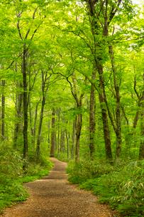 白神山地の十二湖のブナ自然林の写真素材 [FYI03116803]