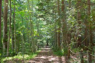 奥薬研の大畑ヒバ施業実験林にある森林軌道跡の写真素材 [FYI03116887]
