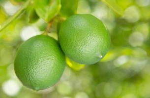 小笠原で栽培されている島レモンの写真素材 [FYI03116954]