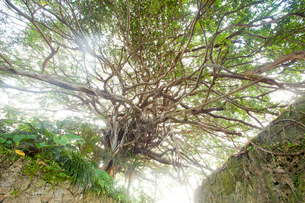 精霊が宿ると言われる樹齢約300年のガジュマルの木の写真素材 [FYI03117108]