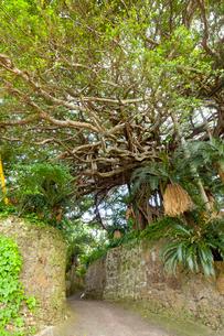 精霊が宿ると言われる樹齢約300年のガジュマルの木の写真素材 [FYI03117143]