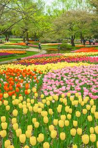 チューリップの咲く風景の写真素材 [FYI03117866]