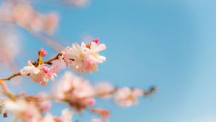桜の写真素材 [FYI03118419]