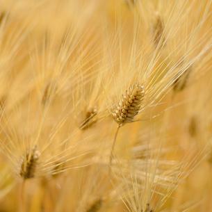 大麦畑の写真素材 [FYI03118439]