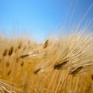 大麦畑の写真素材 [FYI03118442]