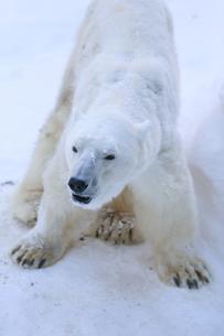 白熊の写真素材 [FYI03118583]