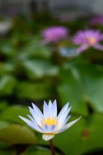 いくつも開花した水連の花の写真素材 [FYI03119647]