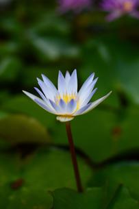 白色に開花したスイレンの花の写真素材 [FYI03119654]