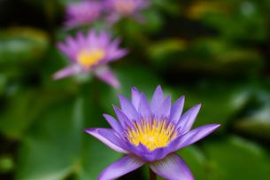 いくつも開花した水連の花の写真素材 [FYI03119658]