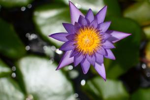 水連の花を真上から見下ろすの写真素材 [FYI03119686]