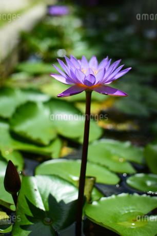 紫色に開花したスイレンの花の写真素材 [FYI03119687]