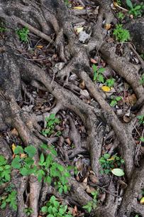 南国沖縄のガジュマルの根の写真素材 [FYI03119691]