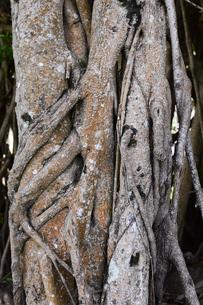 南国沖縄のガジュマルの気根の写真素材 [FYI03119692]