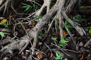 南国沖縄のガジュマルの根の写真素材 [FYI03119693]