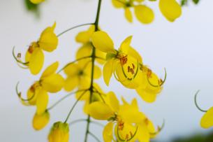 黄色いゴールデンシャワーの花の写真素材 [FYI03119694]