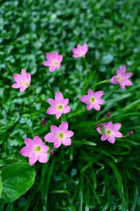 ピンク色のサフランモドキの花の写真素材 [FYI03119697]