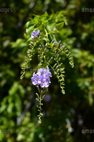 紫色のタイワンレンギョウの花の写真素材 [FYI03119700]