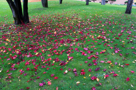 秋の公園の芝生の落ち葉の写真素材 [FYI03119720]