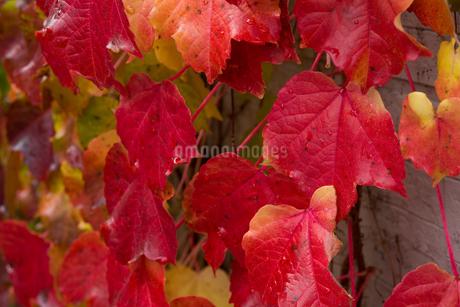 赤く色づいたツタの葉の写真素材 [FYI03119727]