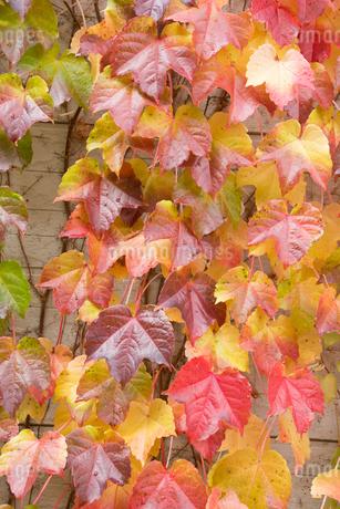 赤く色づいたツタの葉の写真素材 [FYI03119728]