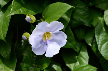 紫色に咲いたベンガルヤハズカズラの花の写真素材 [FYI03119744]