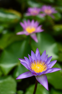 いくつも開花した水連の花の写真素材 [FYI03119745]