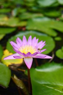 スイレンの花に蜂が近づくの写真素材 [FYI03119746]
