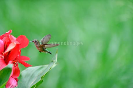 ホバリングをして空中停止する姿勢から花にクチバシを差し込もうとするハチドリの写真素材 [FYI03119821]