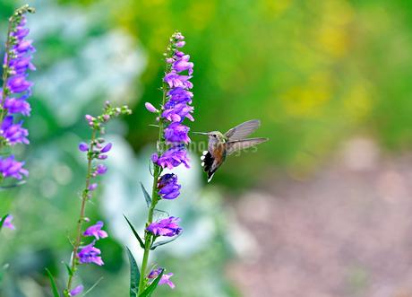 蜜を吸う花を目の前にして急停止するかのように減速して体勢を整えるハチドリの写真素材 [FYI03119822]